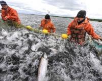 Сенатор предложил запретить японский рыбный промысел в российских водах