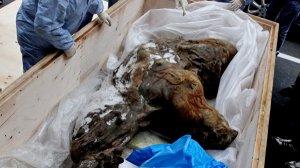 """Ученым не удалось полностью """"оживить"""" ДНК якутского мамонтенка"""