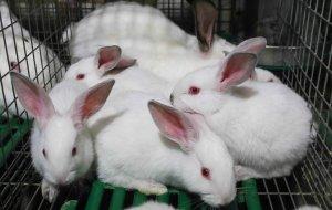 Спаривающиеся кролики доказали эволюционное происхождение женского оргазма