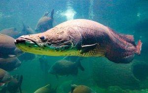 Ученые выяснили, как амазонской рыбе удается выдержать атаку пираний