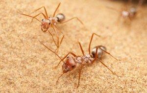 Немецкие ученые обнаружили самого быстрого муравья на планете
