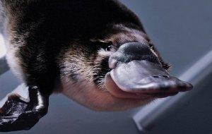 Утконосам предрекли исчезновение более двух третей популяции за полвека