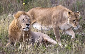 Самки большинства видов млекопитающих в среднем живут дольше самцов