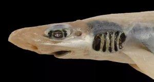 Акула лишилась зубов и кожи из-за загрязнения воды