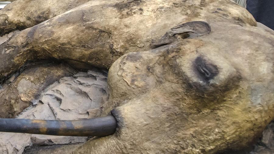 Ученые нашли тушу небольшого мамонта на острове Котельный архипелага Новосибирских островов в Северном Ледовитом океане