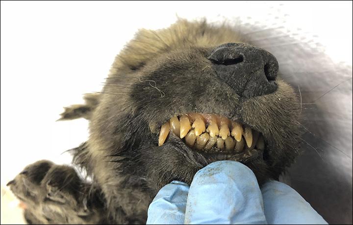 В Сибири нашли древнейшую в мире собаку