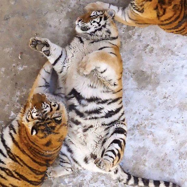 В китайском зоопарке по неизвестной причине растолстели амурские тигры