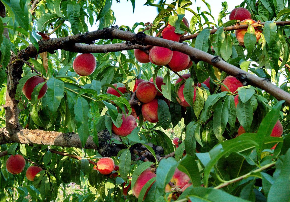 Персиковые плантации в Испании решили уничтожить из-за российского эмбарго