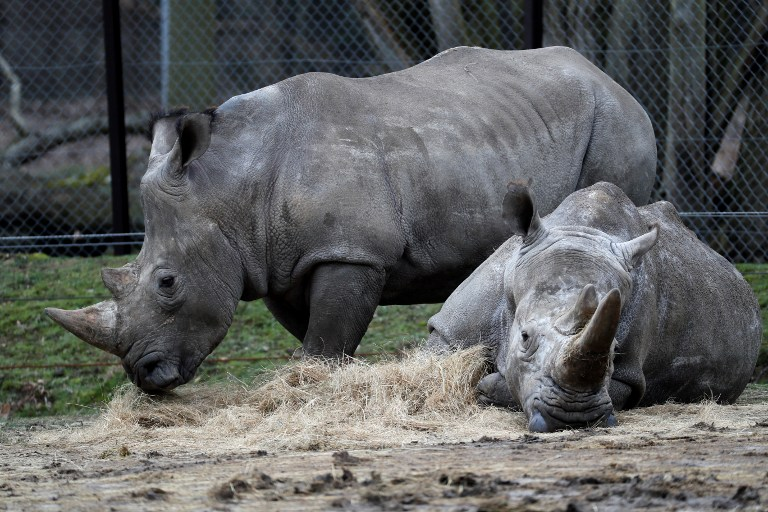 "A photo taken on March 8, 2017 shows ""Bruno"" (L) and ""Gracie"" two rhinos at the zoo of Thoiry, a day after intruders shot dead a white rhino named"" Vince"" and hacked off its horns in the same area."