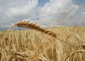Польские фермеры требуют остановить импорт украинского зерна (ЕС помогает Киеву за счет Варшавы)