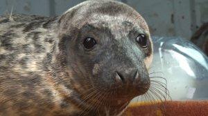 Врегионе может появиться мобильный лагерь дляреабилитации серых тюленят…