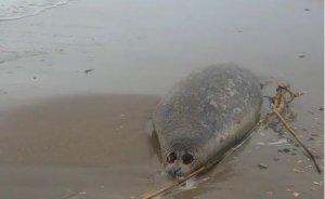 Причины массовой гибели тюленей вДагестане установит…