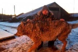 """""""Настоящий русский"""": британцев восхитил задушивший волка фермер из…"""