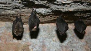 У летучих мышей и панголинов обнаружили антитела к…