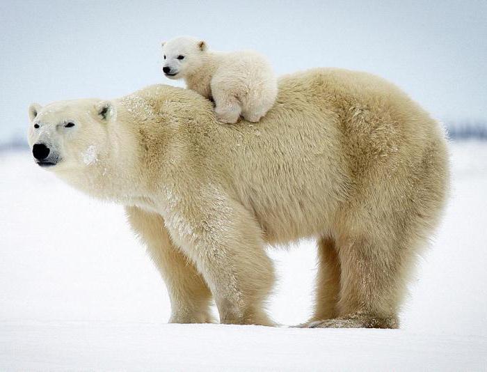 видеть во сне голову медведя хорошо крашенная осб