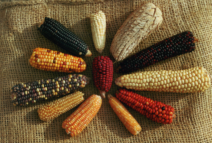 corn history